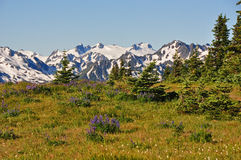 Field of Wildflowers in the Olympic Mountains Stock Photos