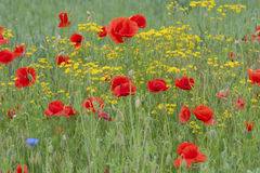 Field of wildflowers with poppies and yellow flowers Stock Photo