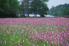 Field of Wildflowers in Spring Royalty Free Stock Images