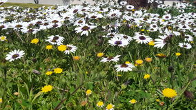 A field of wildflowers Royalty Free Stock Photography