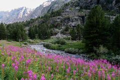 The field of willowherb flowers on the background of mountain river stock photos