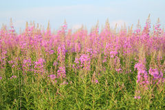 Field of willowherb Stock Photo