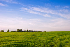 Field with winter crops. Spring.. Royalty Free Stock Photo