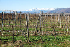 Field of Winter Grape Vines Royalty Free Stock Photo
