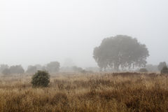 Field in winter with holm oaks and fog. Quercus ilex. Royalty Free Stock Photo