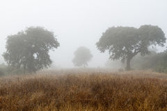 Field in winter with holm oaks and fog. Quercus ilex. Stock Photography