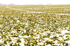 Field of winter rape Royalty Free Stock Photography