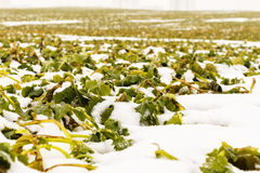 Field of winter rape Stock Photo