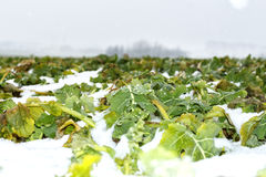 Field of winter rape Stock Images