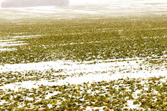 Field of winter rape Royalty Free Stock Photo