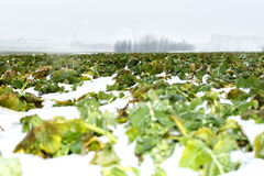 Field of winter rape Royalty Free Stock Image