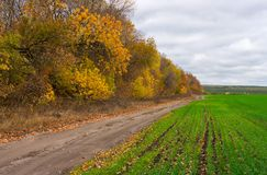 Field with winter shoots. Near to yellow forest belt in autumn Stock Photos