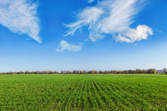Field of winter wheat Royalty Free Stock Images