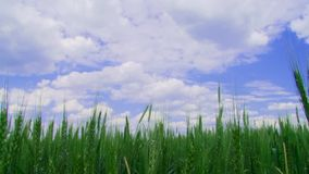 Field of winter wheat. Green wheat field. The sky is cloudy stock footage