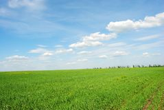 Field of winter wheat in spring along trees, sunny sky and clouds. Ukraine stock photos