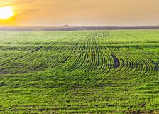 Field of winter wheat at sunrise in early spring. Field with young plants of the winter wheat covered with drops of dew at sunrise at early spring Stock Photography