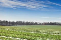 Field winter wheat under snow Stock Photo