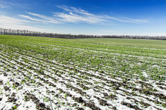Field winter wheat under snow Royalty Free Stock Images