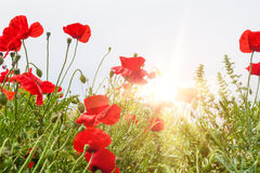 Free Field With A Red Poppy Flowers In Morning Sunlight Royalty Free Stock Photo - 46574095
