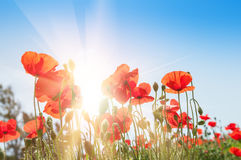 Free Field With Beautiful Red Poppy Flowers Stock Image - 77753401