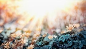 Free Field With Little Yellow Flowers And Sun Rays , Outdoor Stock Photos - 113926783