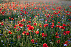 Free Field With Poppies Stock Photography - 15583902
