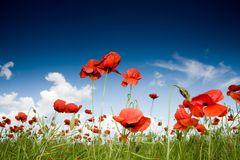 Free Field With Poppies Under Dark Sky Stock Photography - 5414532