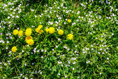 Field With Yellow Dandelions Closeup Stock Photo
