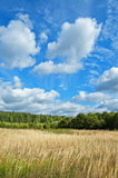 Field and wood. Field of the golden dried up grass against green wood and the dark blue sky with white clouds royalty free stock photos