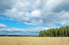 Field and wood. Field of the golden dried up grass against green wood and the dark blue sky with white clouds stock image