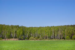 Field and wood. Field of grass and wood in the distance. Sky is blue royalty free stock photo