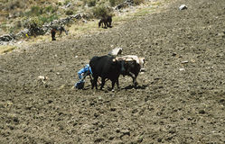 Field work. Farmer, ploughing his field on the mountain side of colca canyon, Peru. Some of the fields are built in terraces Royalty Free Stock Image