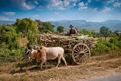 Field worker on cart in myanmar. Field worker on an oxcart at inle lake in myanmar Stock Photos