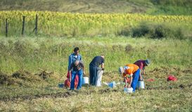 Field Workers Harvesting Potato Stock Images