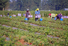 Field Workers Pick Strawberries Stock Photo