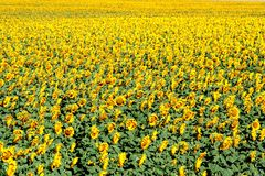 Field of Yellow. Yellow sunflower field covered in bright blooms stock photo
