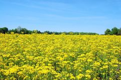 Field of yellow royalty free stock photography