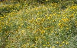 Field of yellow argyranthemum flowers Royalty Free Stock Photo