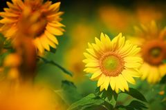 Field of yellow blooming sunflowers Royalty Free Stock Photo