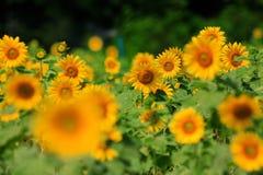 Field of yellow blooming sunflowers Stock Photo