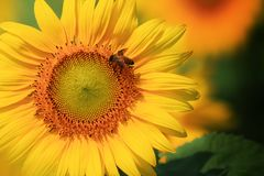 Field of yellow blooming sunflowers Royalty Free Stock Photography
