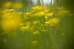 Field of yellow buttercup flowers. Blurry tall green grass royalty free stock image