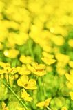 Field of yellow buttercup flowers in summer. In a meadow Royalty Free Stock Image