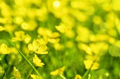 Field of yellow buttercup flowers in summer. In a meadow Stock Photo