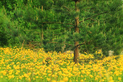 Field of yellow buttercups Royalty Free Stock Image