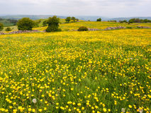 Field of yellow buttercups Stock Photo