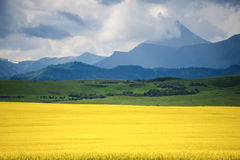 Field of yellow canola Stock Image
