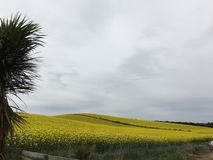 Field of yellow canola. Countryside field with yellow flowering canola or rape Stock Photos