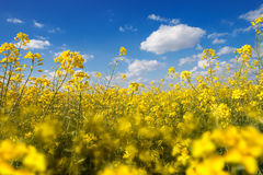 Field with yellow canola Royalty Free Stock Image