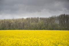 Field of yellow canola plants Royalty Free Stock Photo